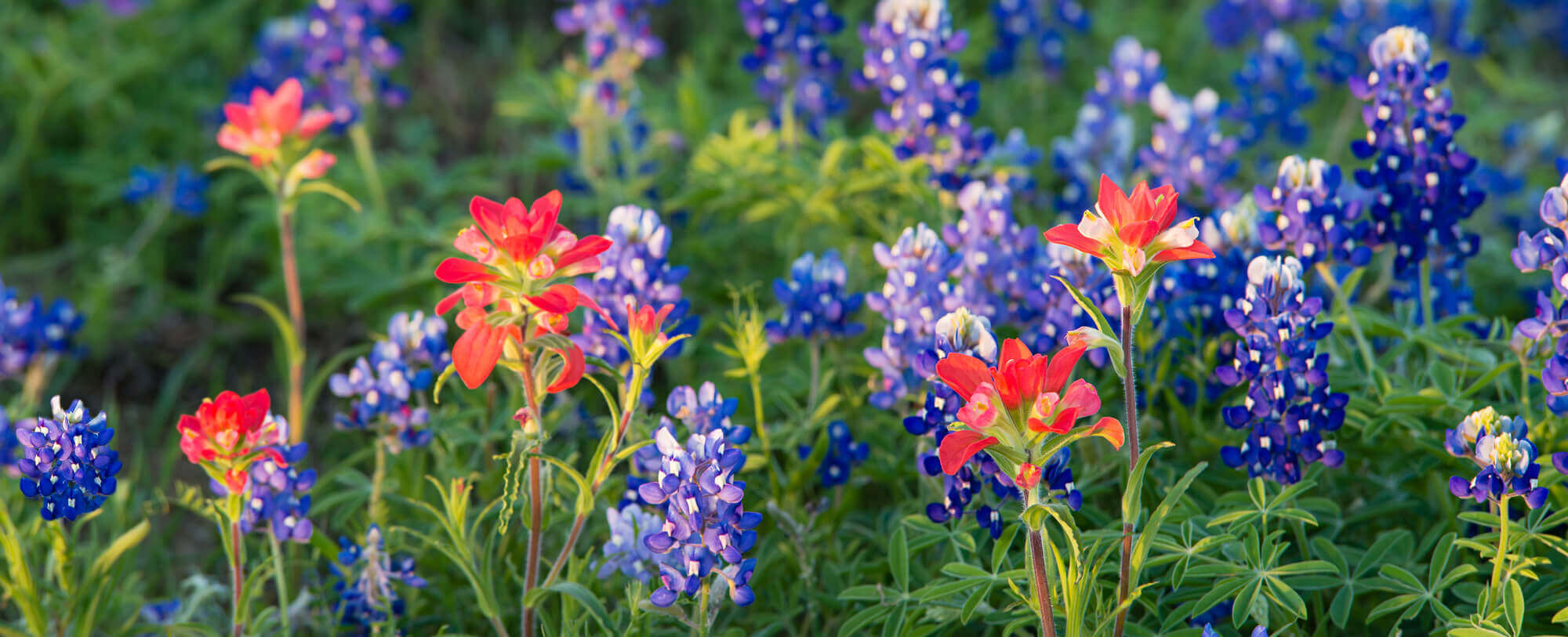 Blue bell flowers in the spring in Texas