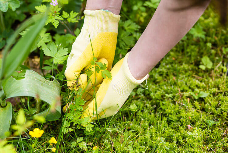 Gardener wearing yellow gloves pulling a creeping vine-like weed